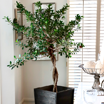 Finding The Perfect Indoor Tree
